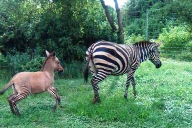 """La sorpresa della natura a Pasqua: nasce un raro """"zebrasino"""", mamma zebra e papà asino"""