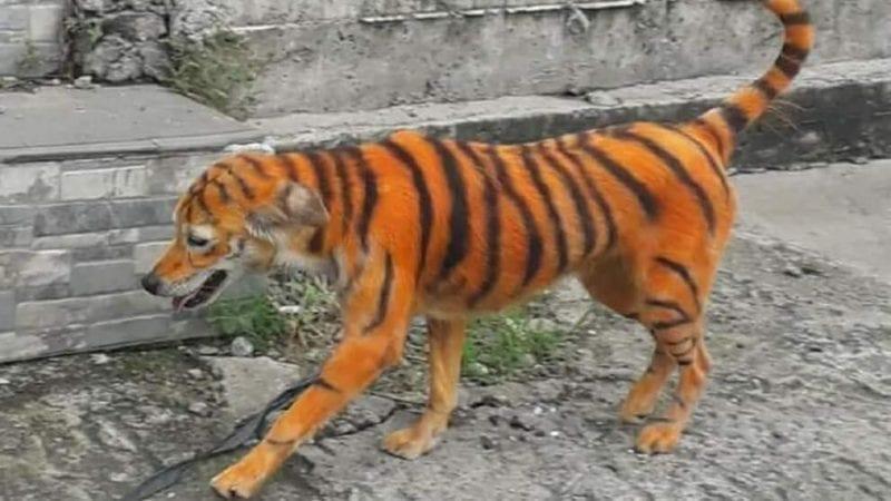 Cane trasformato in tigre con vernici tossiche e abbandonato per strada, l'appello: «Aiutateci a trovare il colpevole»