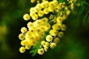 Festa della donna, mimosa